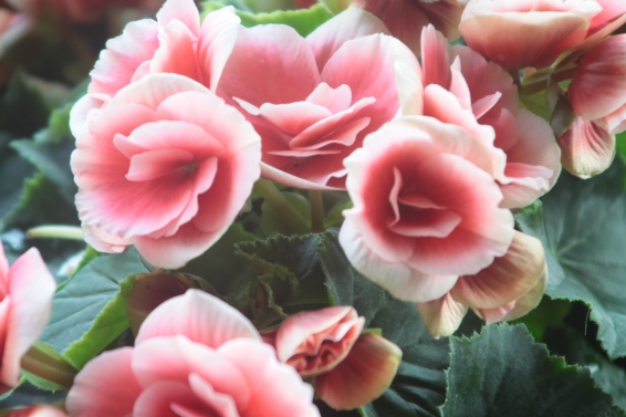 Light Pink Roses Close Up